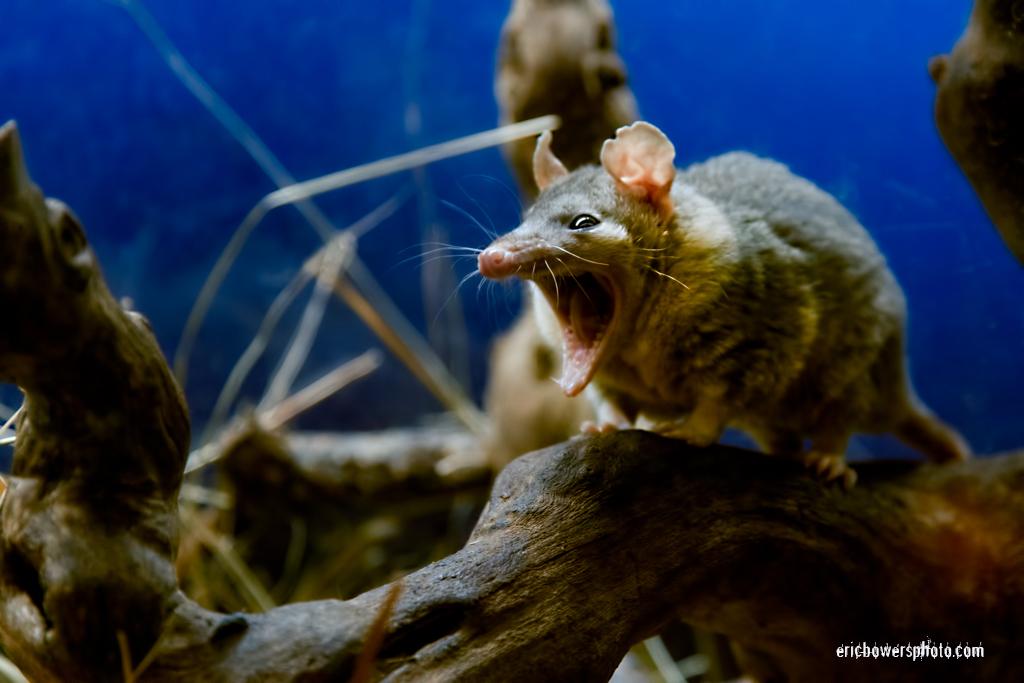 Yawning Possum Photos