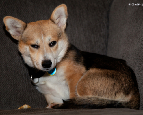 Stinkeye Glance from Jack the Disapproving Corgi