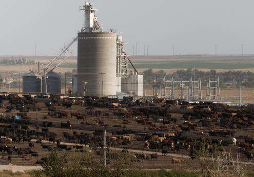 Cattle Feedlot Just Off of Dodge City